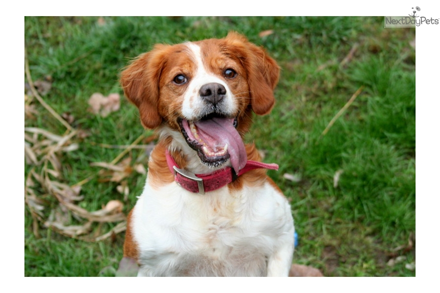 French Brittany Brittany Spaniel Puppy For Sale Near Sioux City Iowa