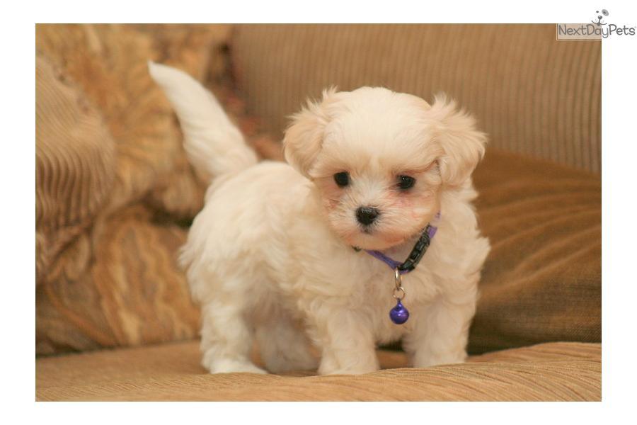 Mal-Shi - Malshi puppy for sale near Sioux City, Iowa ...