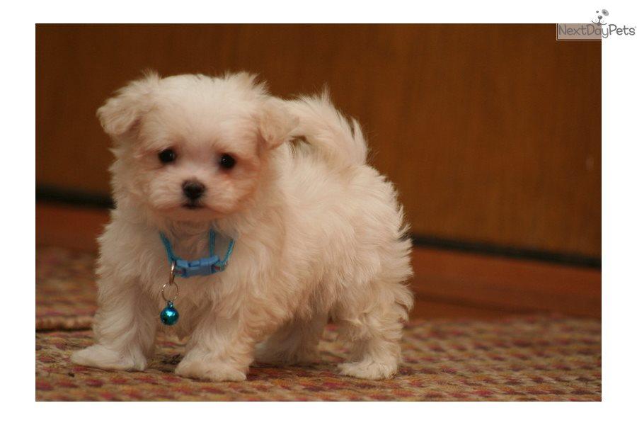 Remmi Maltese Puppy For Sale Near Sioux City Iowa E2c4cdfc D671