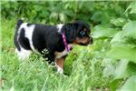 Picture of Veena (UKC Reg. French Brittany Female Tri Color)