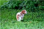 Picture of Tawni (French Brittany)