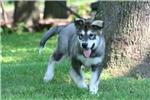 Picture of an Alaskan Malamute Puppy