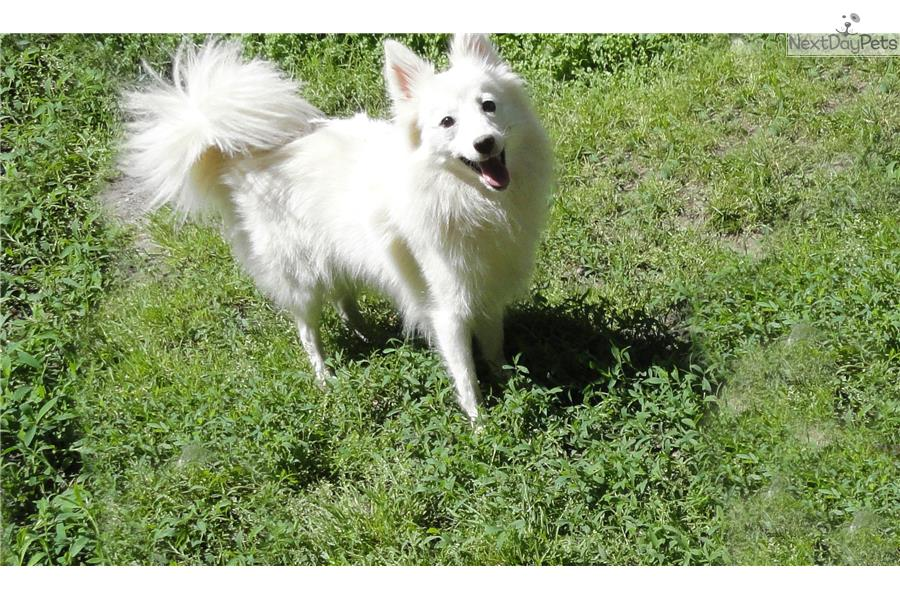 Japanese Spitz Puppies For Sale From Reputable Dog Breeders