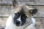 Picture of an Akita Puppy