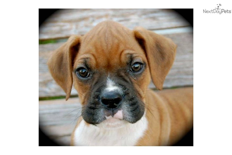Meet Zach A Cute Boxer Puppy For Sale For 800 Zach Fawn
