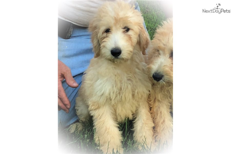 Lillie F1b Goldendoodle Puppy For Sale Near Harrisburg