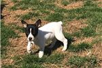 Picture of Rebecca the Rat Terrier