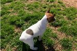 Picture of Ruby the rat terrier