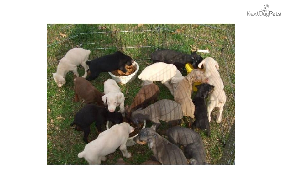 Puppies For Sale From Braveheart Kennels Member Since April 2005