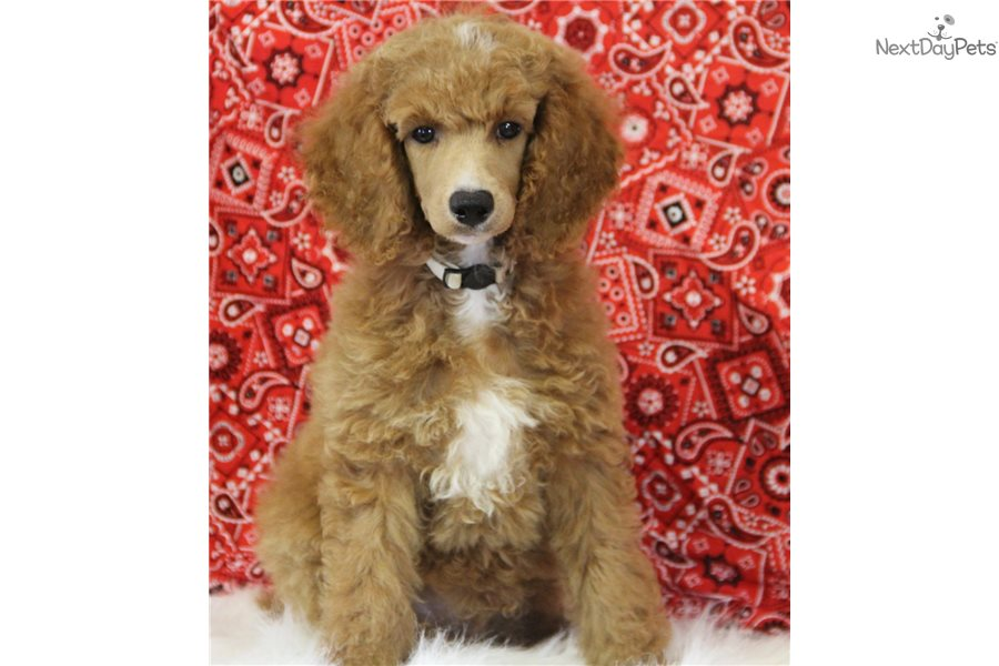 Captian Poodle Miniature Puppy For Sale Near Tulsa
