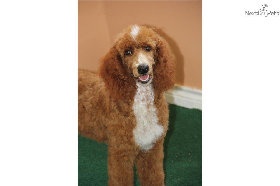 Annie Poodle Standard Puppy For Sale Near Tulsa Oklahoma
