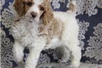 JASPER- RED AND WHITE PARTI  | Puppy at 13 months of age for sale