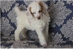 WORLD CLASS RED AND WHITE PARTI  | Puppy at 9 weeks of age for sale