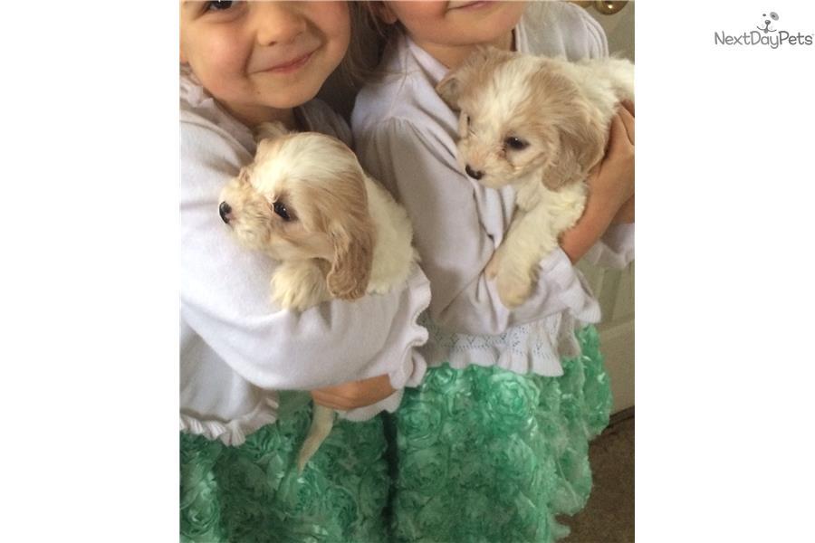 Hypoallergenic Cavachon Puppy For Sale Near Pittsburgh