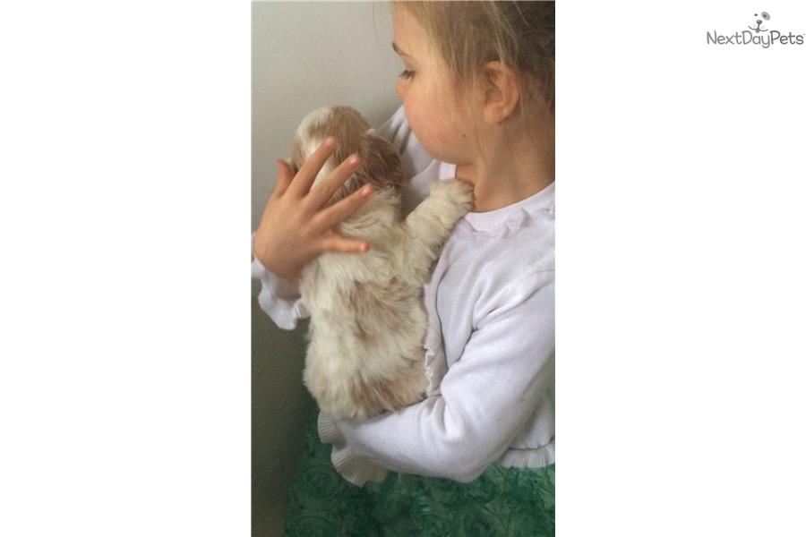 Cavachon Cavapoo: Cavachon puppy for sale near Alberta Canada