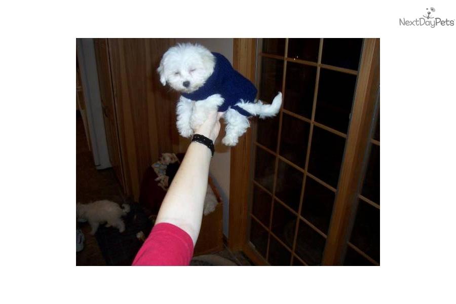 Hypoallergenic Malti Poo Maltipoo Puppy For Sale Near Pittsburgh