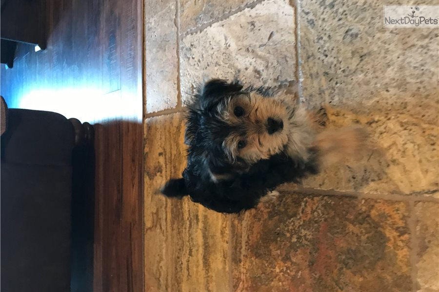 Morkie / Yorktese puppy for sale near Pittsburgh