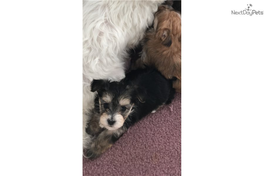 Morkie Baby: Morkie / Yorktese puppy for sale near Pittsburgh