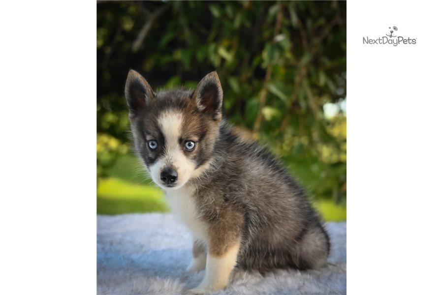 Pomsky puppy for sale near Pennsylvania USA