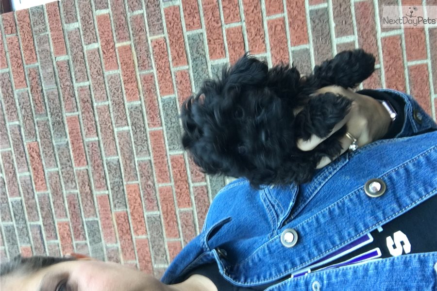 Adorable Non Shed Poodle Toy Puppy For Sale Near