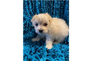 Buckeye Bichon | Puppy at 11 weeks of age for sale