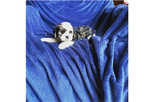 Bichon Shih Tzu  | Puppy at 12 weeks of age for sale