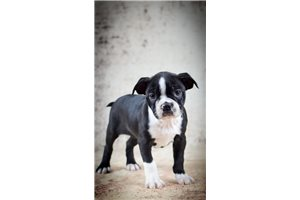 Barbie Pittsburg | Puppy at 4 weeks of age for sale
