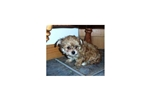 Morkie  Pitt/Philly NYC MD DC VA  | Puppy at 11 weeks of age for sale