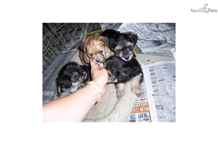 Bichon Frise Puppy For Sale Near Pittsburgh Pennsylvania 012ac051