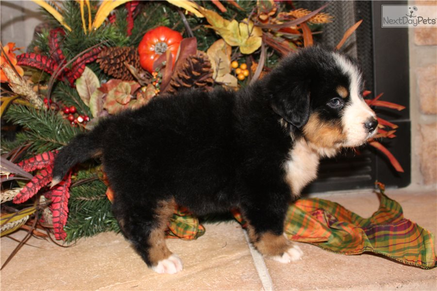 Ellie: Bernese Mountain Dog puppy for sale near France