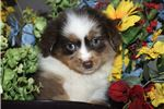 Cowboy~www.marshaspuppies.com~ | Puppy at 10 weeks of age for sale