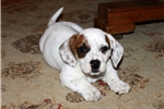 Maggie~ www.marshaspuppies.com ~  | Puppy at 7 weeks of age for sale