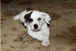 Toni~www.marshaspuppies.com  | Puppy at 7 weeks of age for sale
