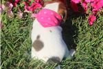 Picture of Trixie~www.marshaspuppies.com~