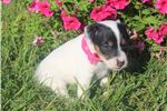 Picture of Maggie~www.marshaspuppies.com ~