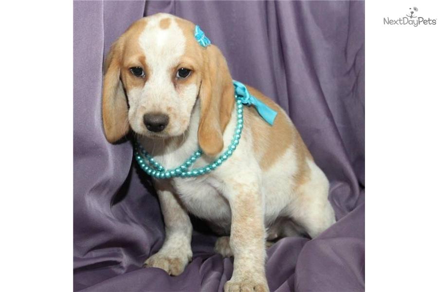 Beagle Puppy For Sale Near Tulsa Oklahoma 22c738d6 F5c1