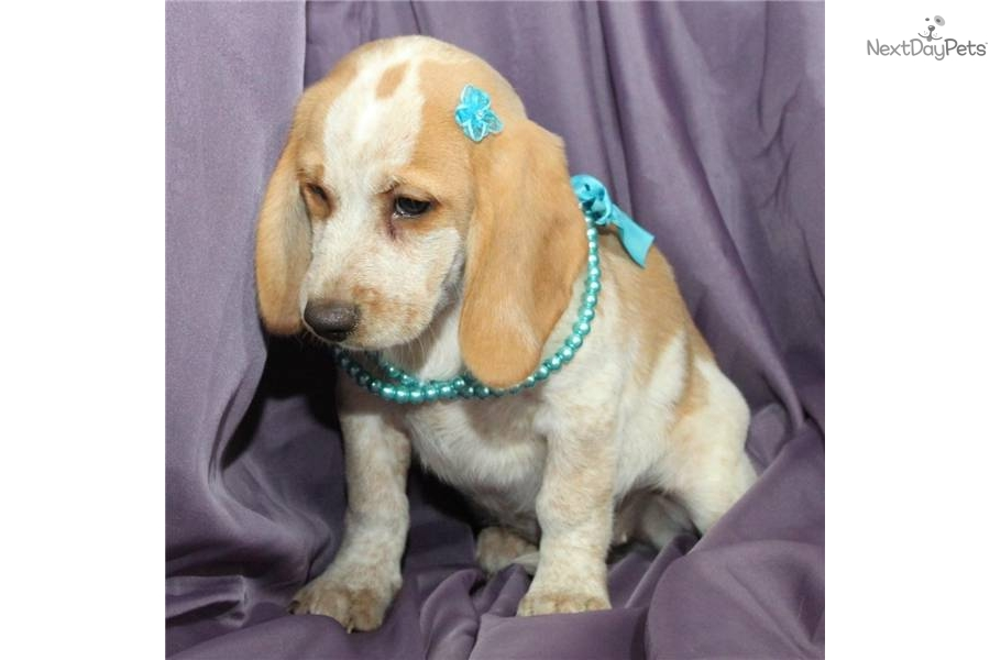 Meet Gracie A Cute Beagle Puppy For Sale For 175 Gracie