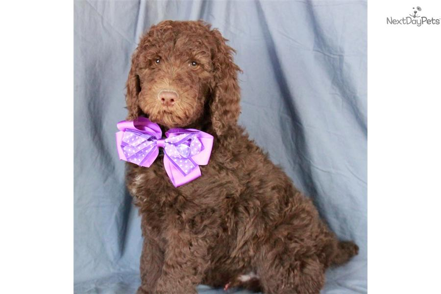 Poodle Standard Puppy For Sale Near Tulsa Oklahoma