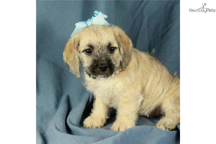 Mercedes Too Cute Pugapoo Puppy For Sale Near Tulsa