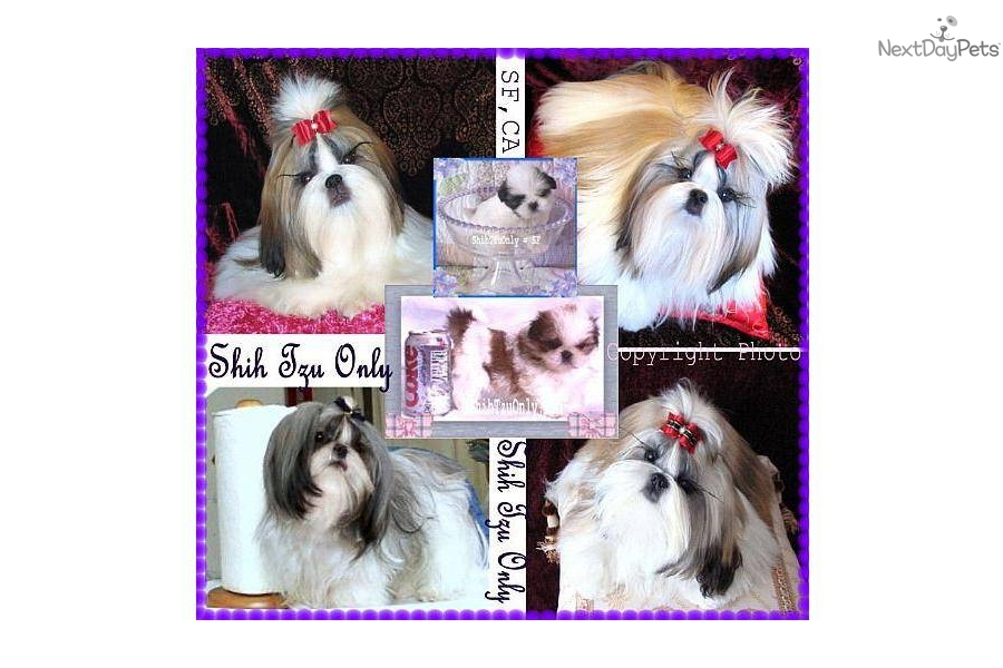 Puppies For Sale From Akailee Tiny Toy Champions Pedigree Shih Tzu