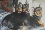 Featured Breeder of Miniature Pinschers with Puppies For Sale