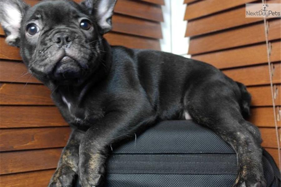 french bulldog utah trindle french bulldog puppy for sale near provo orem 8142