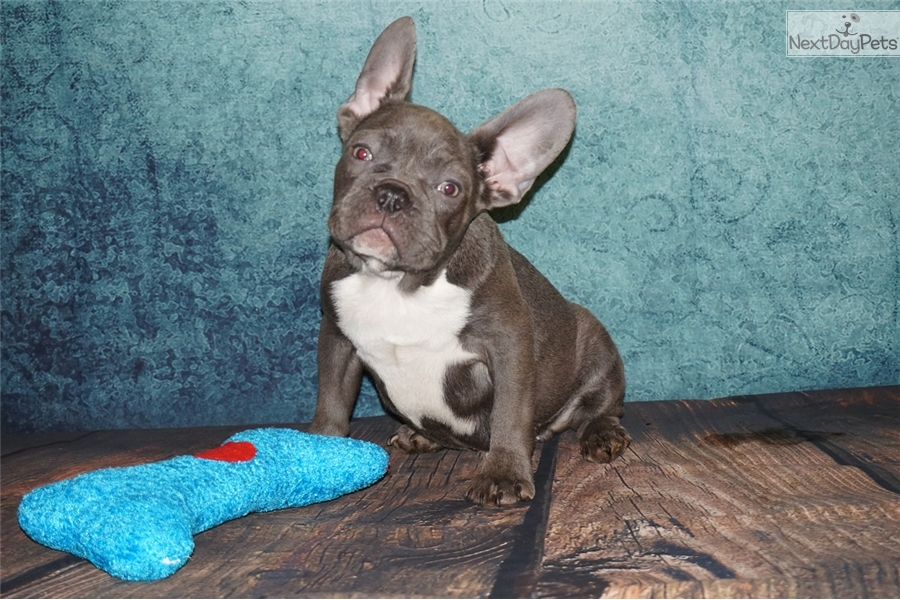 french bulldog utah maverik french bulldog puppy for sale near provo orem 6844