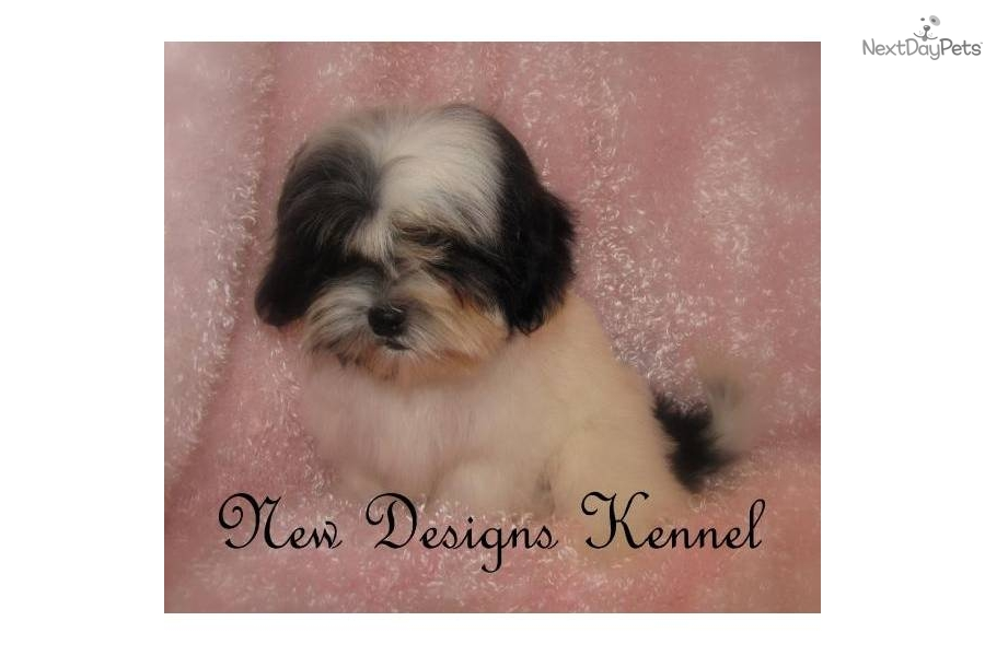 angelbaby shih tzu shih tzu puppy for sale near fort dodge iowa cda741ea fd01 7071