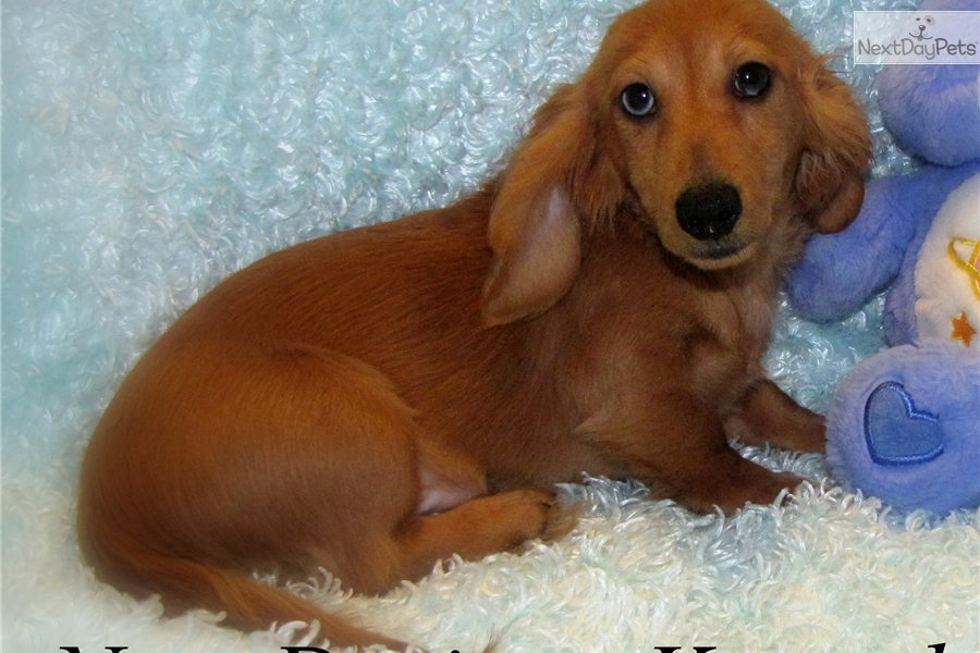 Miniature Dachshund Puppies For Sale In Iowa Dachshunds More