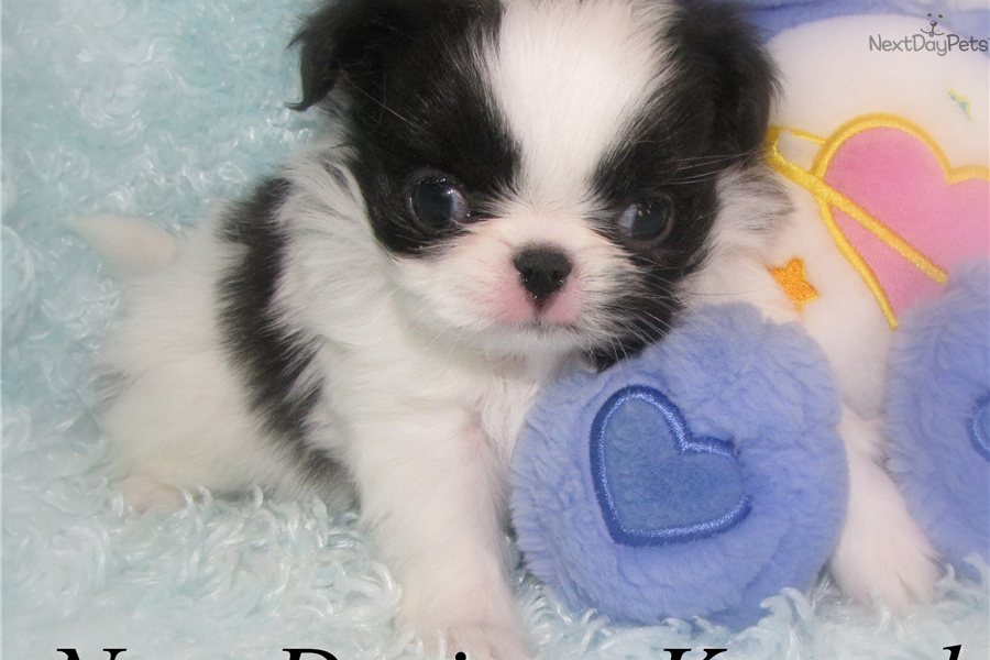 Meet Kazi a cute Japanese Chin puppy for sale for $500 ...