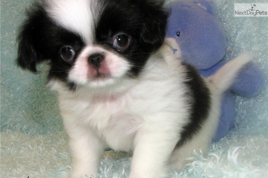 Japanese Chin puppy for sale near Fort Dodge, Iowa ...
