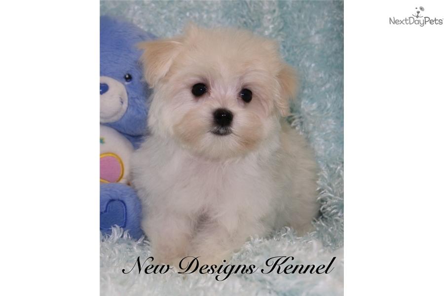 Charlie Maltese Puppy For Sale Near Fort Dodge Iowa 8e6fdd75 79f1