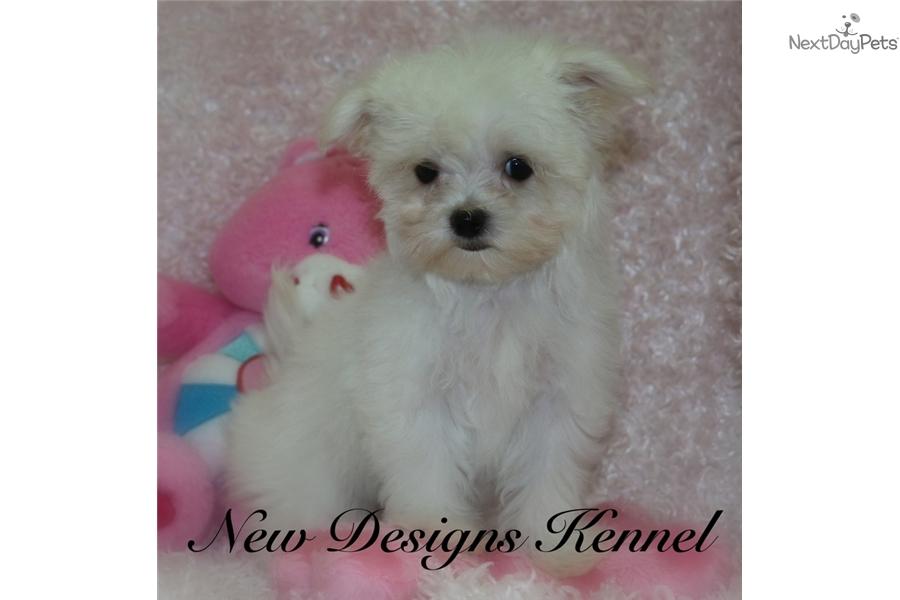 Clarice Maltese Puppy For Sale Near Fort Dodge Iowa 16df3a8e F7a1