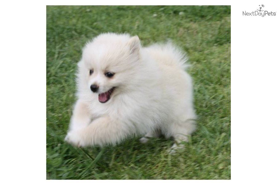 pomeranian oklahoma pomeranian puppy for sale near oklahoma city oklahoma 8187